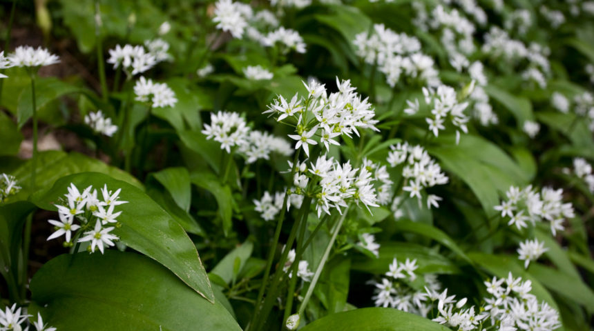 Cooking with wild garlic